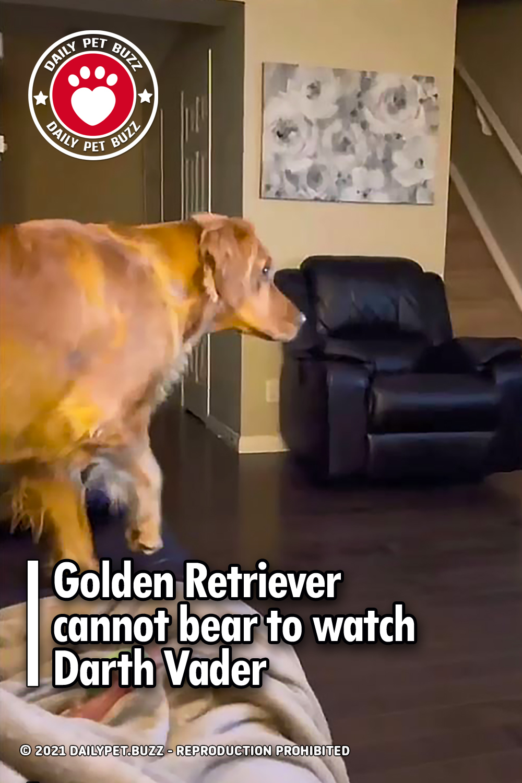 Golden Retriever cannot bear to watch Darth Vader