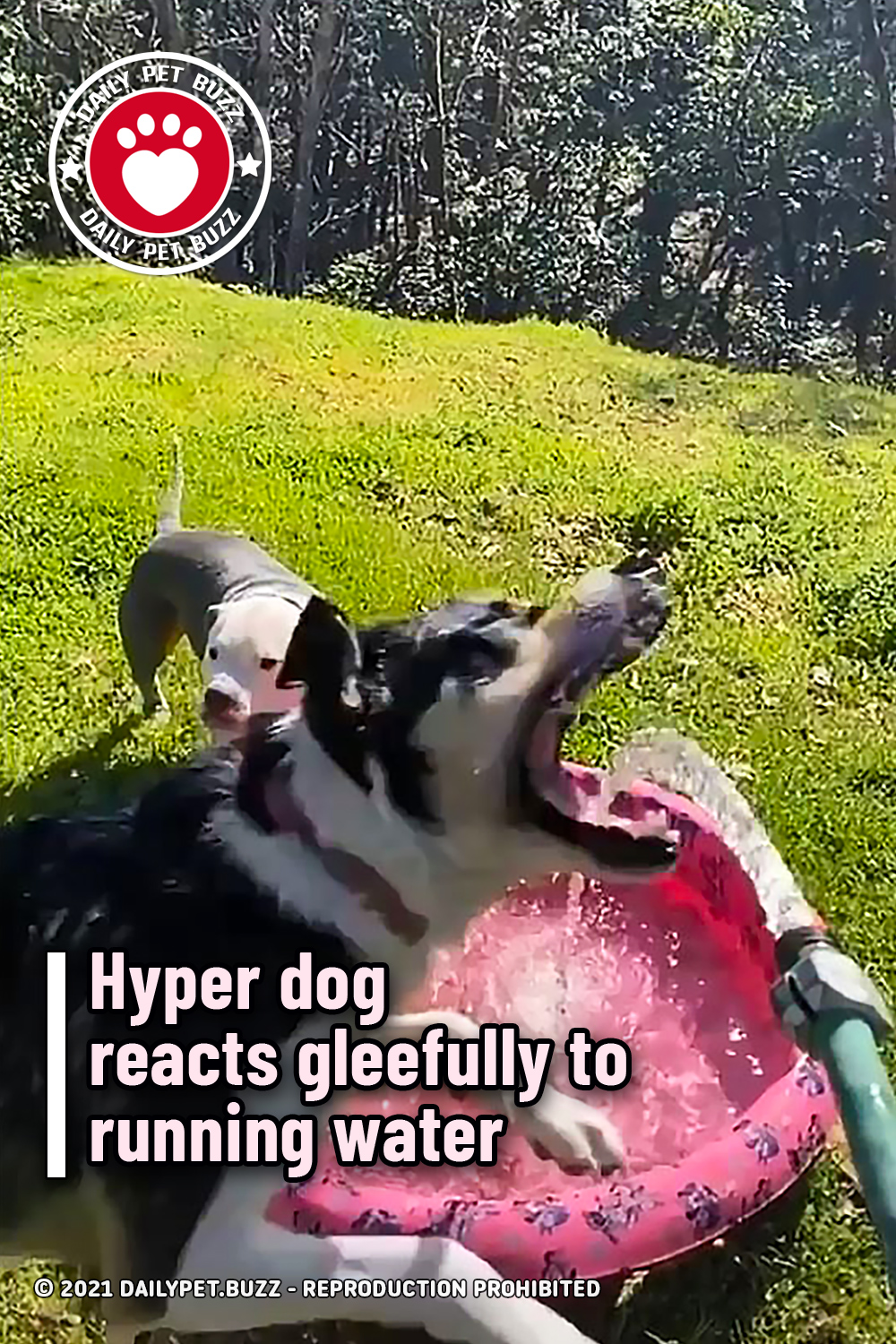 Hyper dog reacts gleefully to running water