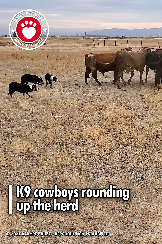 K9 cowboys rounding up the herd