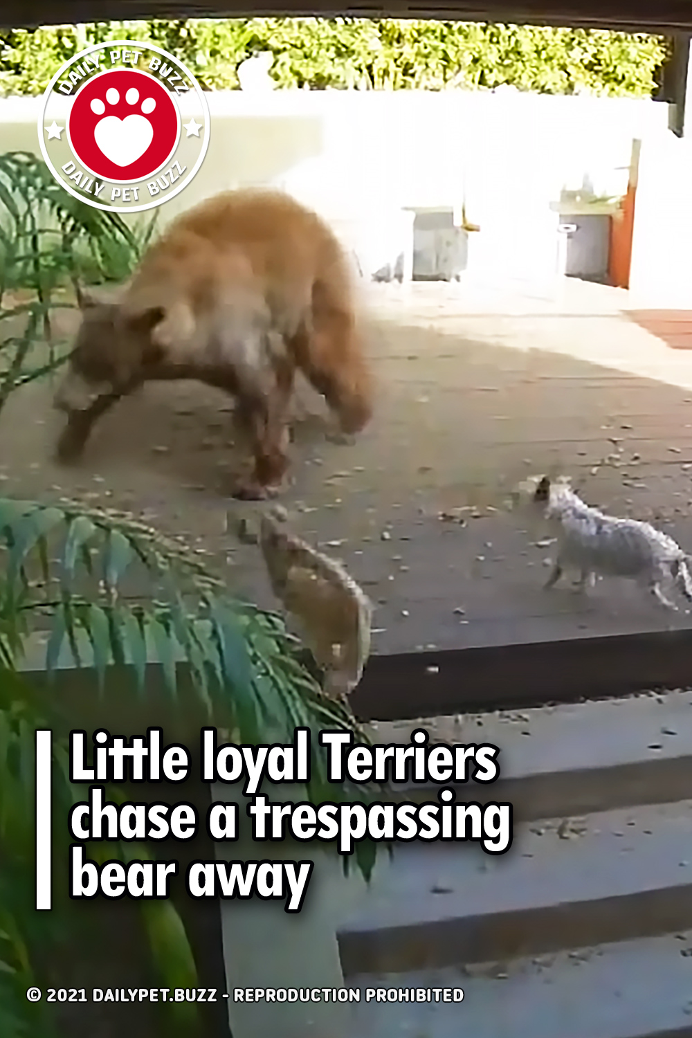 Little loyal Terriers chase a trespassing bear away