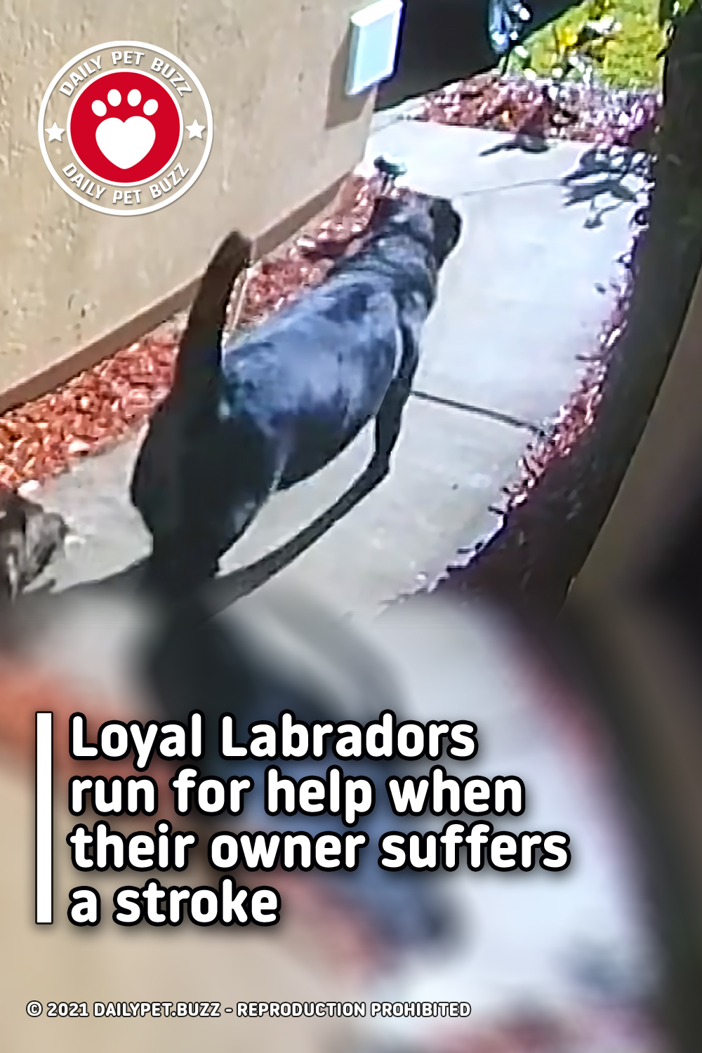 Loyal Labradors run for help when their owner suffers a stroke