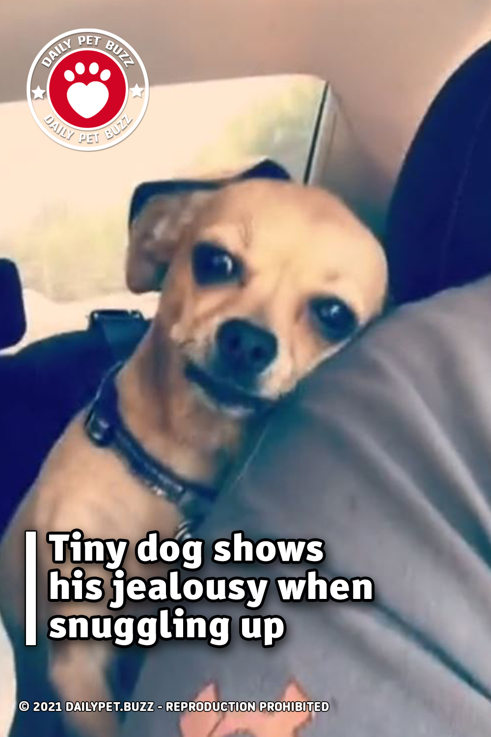 Tiny dog shows his jealousy when snuggling up