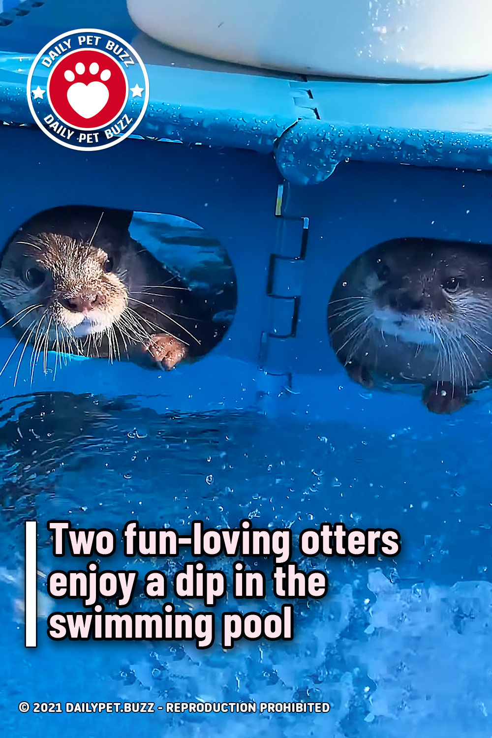 Two fun-loving otters enjoy a dip in the swimming pool