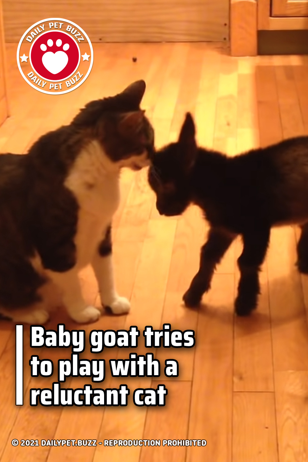 Baby goat tries to play with a reluctant cat