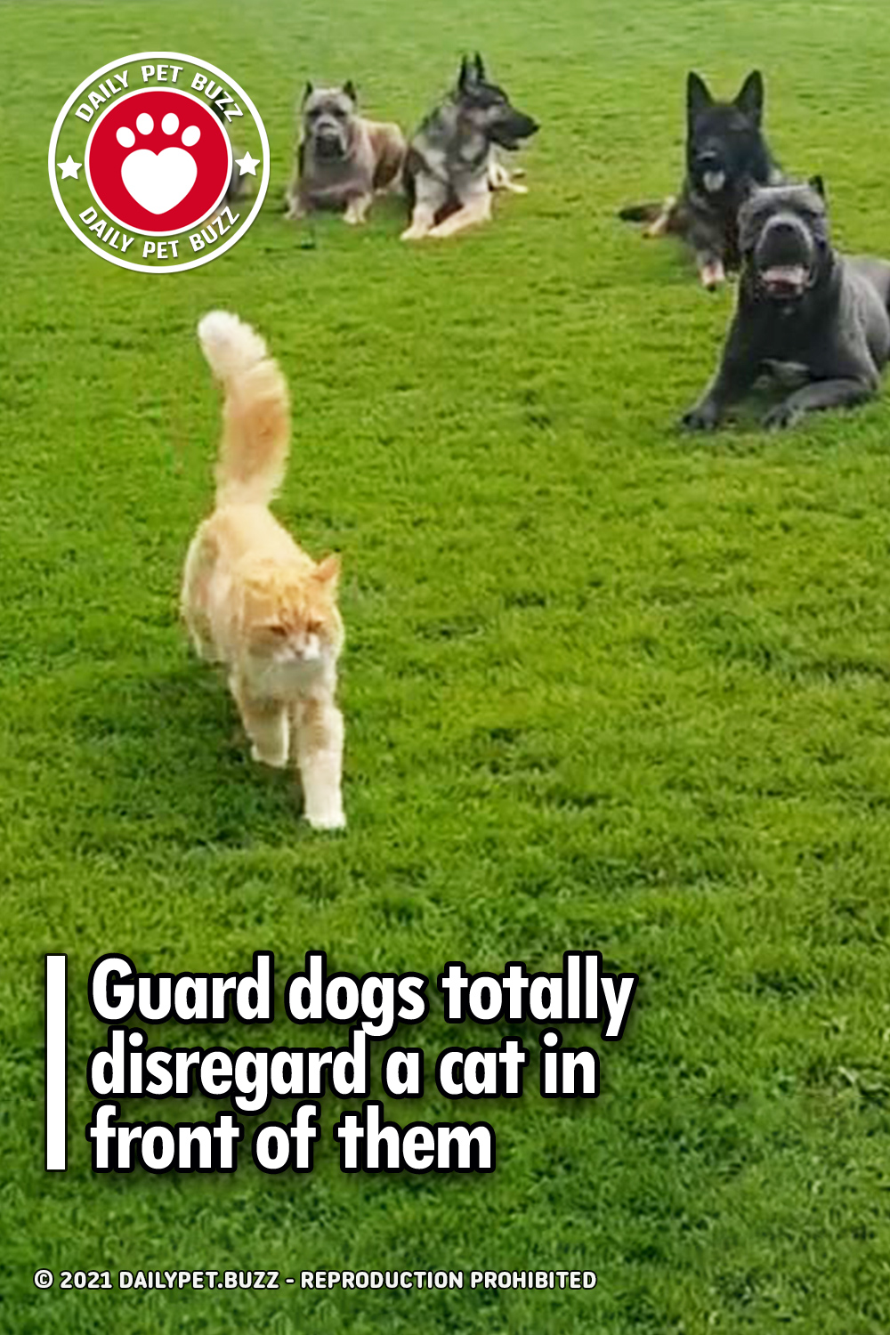 Guard dogs totally disregard a cat in front of them