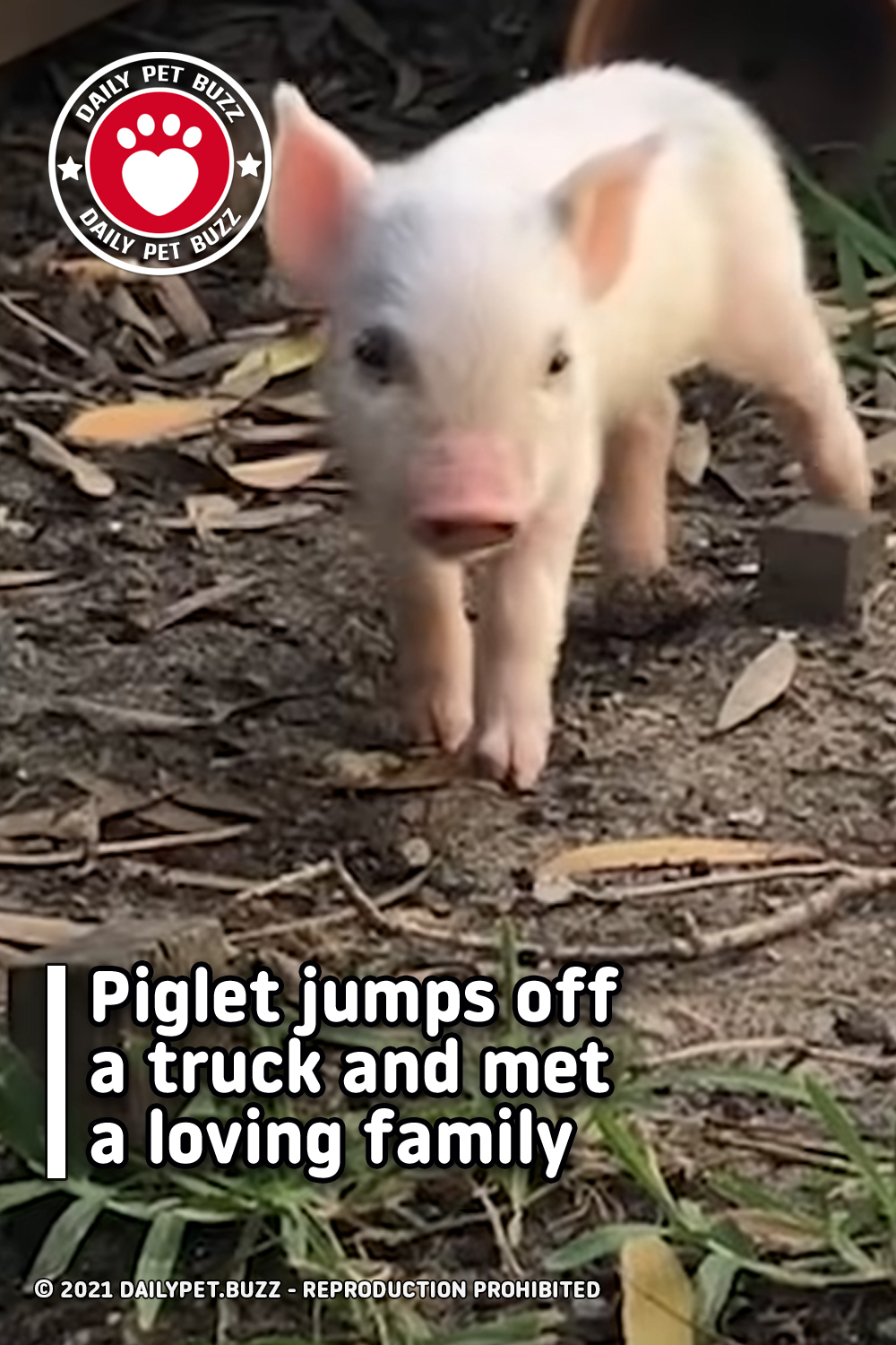 Piglet jumps off a truck and met a loving family