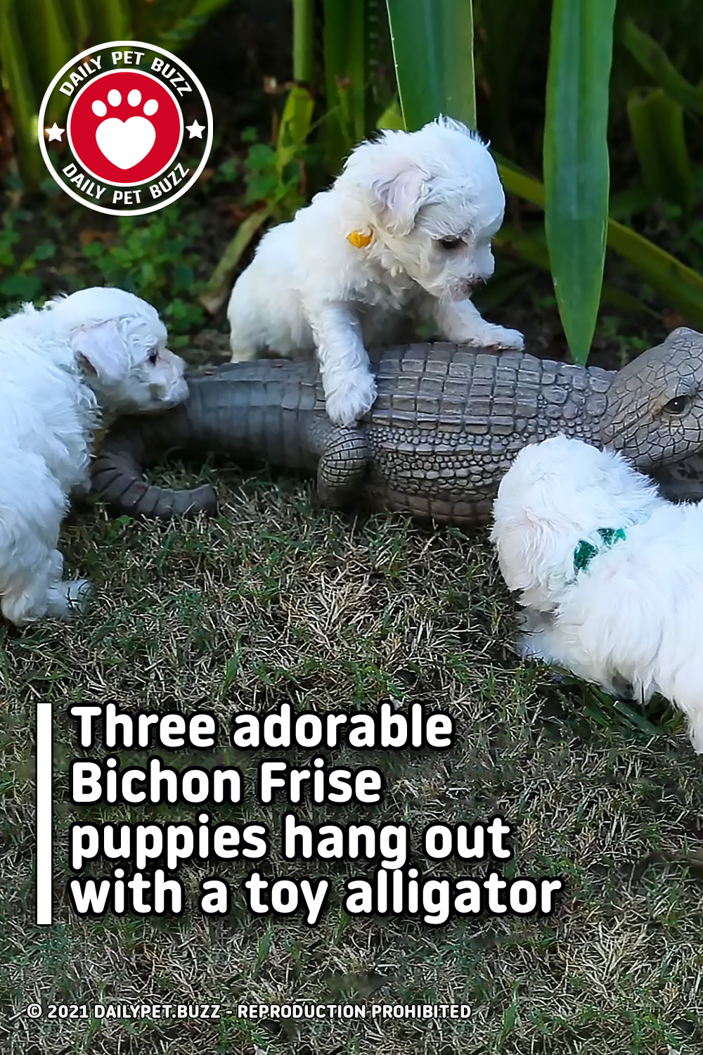 Three adorable Bichon Frise puppies hang out with a toy alligator