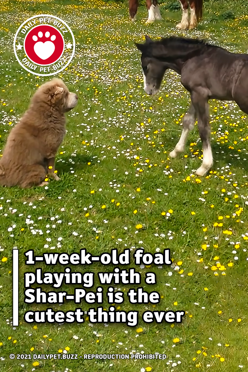1-week-old foal playing with a Shar-Pei is the cutest thing ever