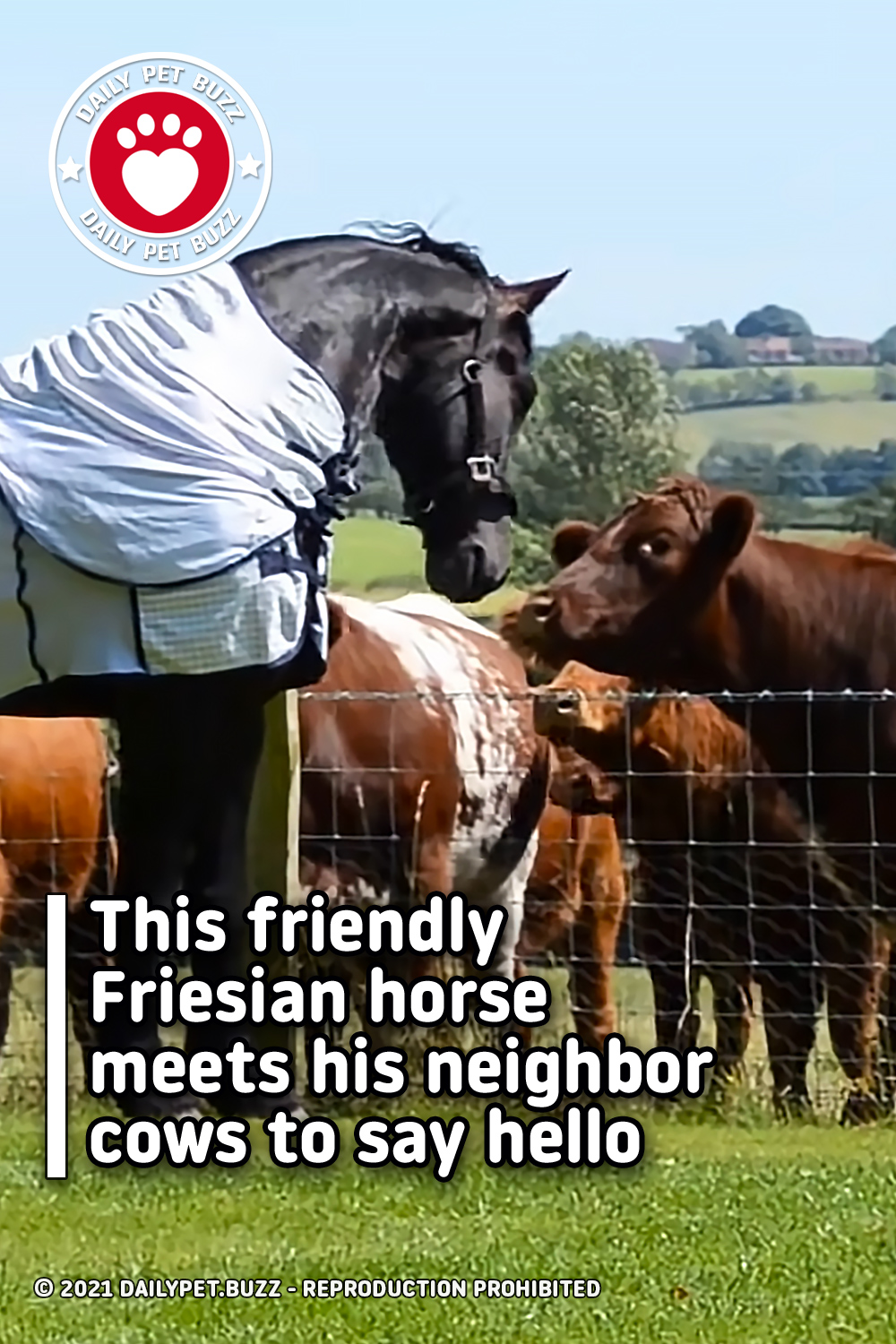 This friendly Friesian horse meets his neighbor cows to say hello