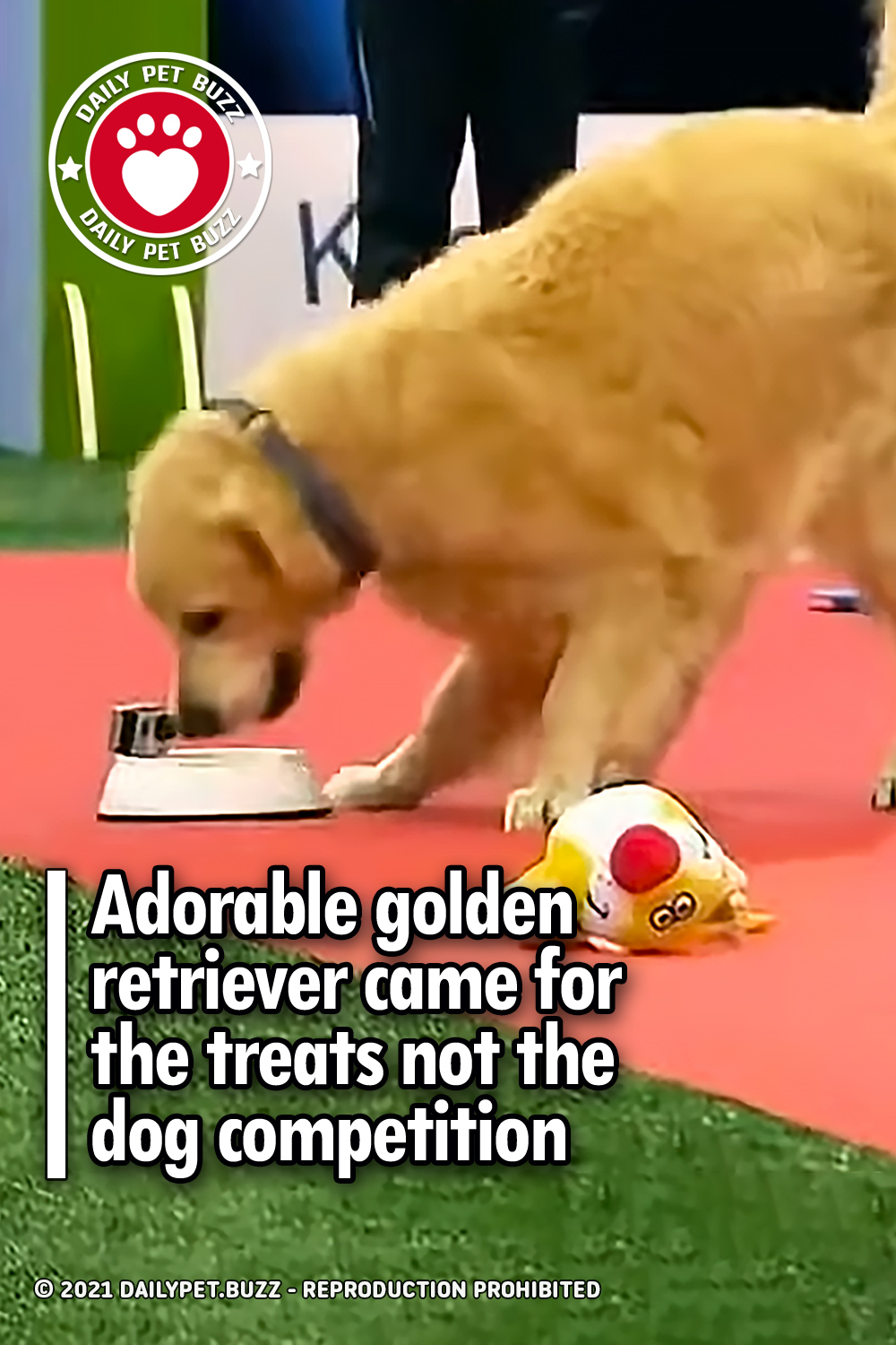 Adorable golden retriever came for the treats not the dog competition