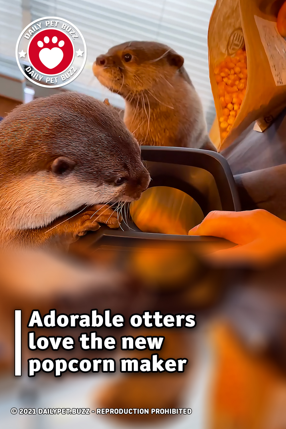 Adorable otters love the new popcorn maker