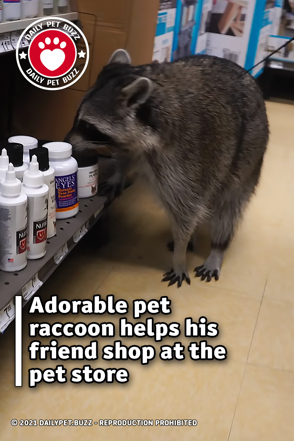 Adorable pet raccoon helps his friend shop at the pet store