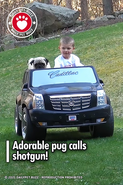 Adorable pug calls shotgun!