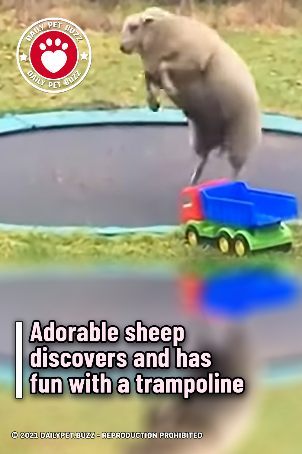 Adorable sheep discovers and has fun with a trampoline