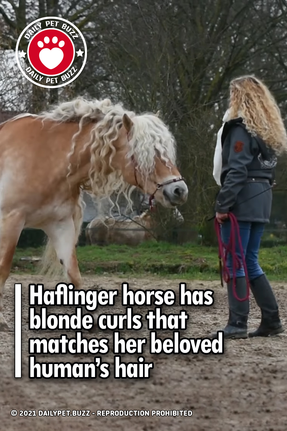 Haflinger horse has blonde curls that matches her beloved human's hair