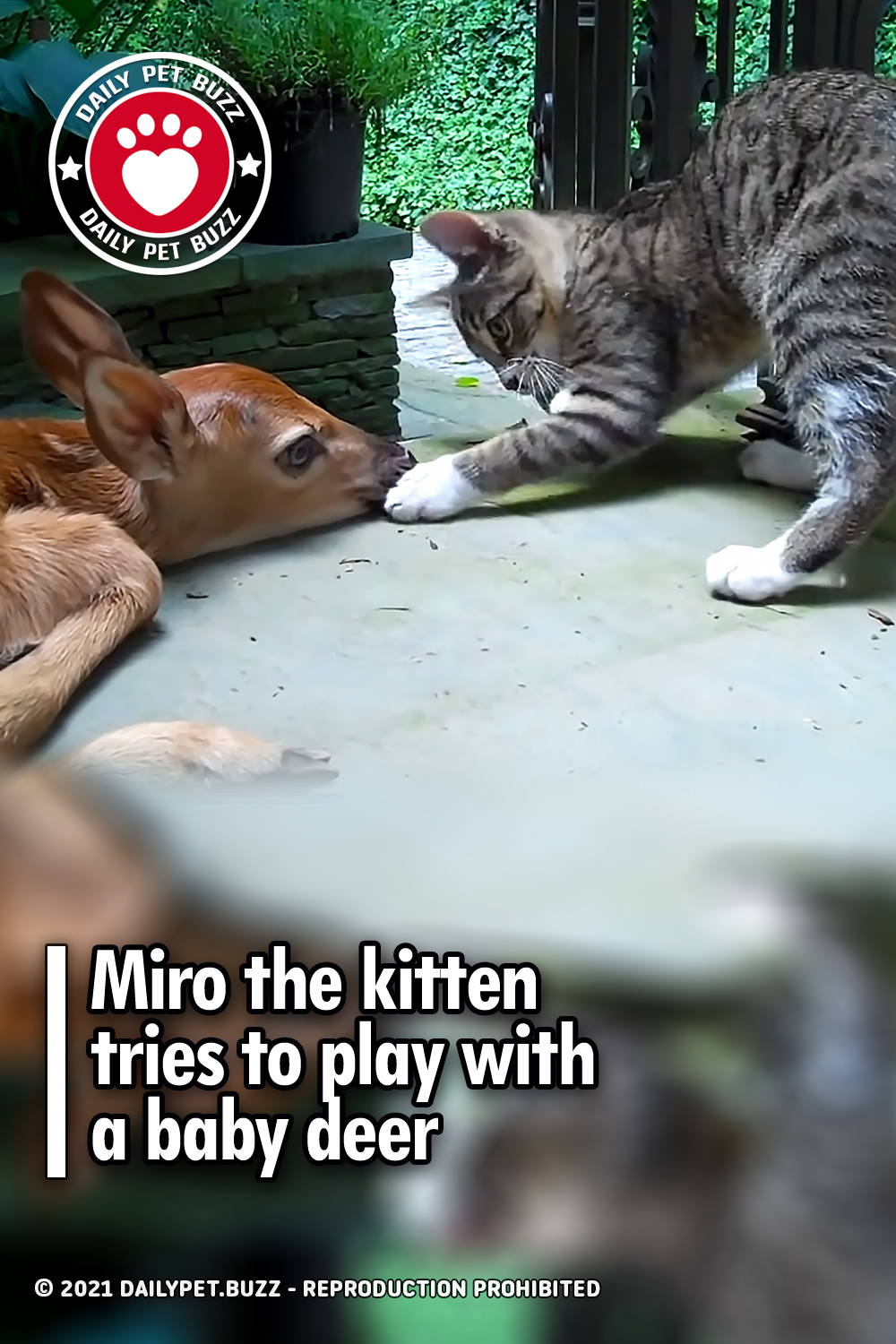 Miro the kitten tries to play with a baby deer