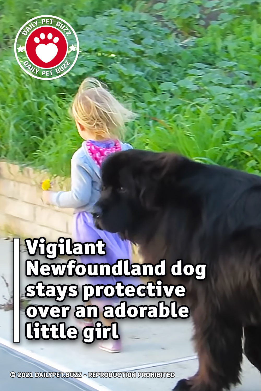 Vigilant Newfoundland dog stays protective over an adorable little girl