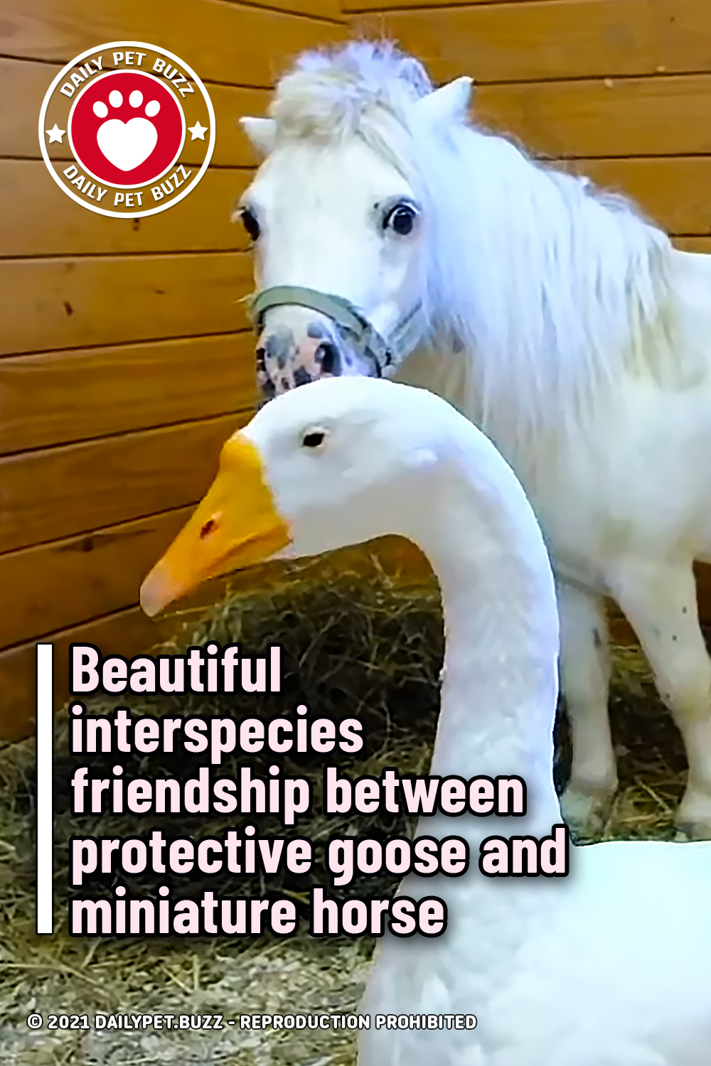Beautiful interspecies friendship between protective goose and miniature horse
