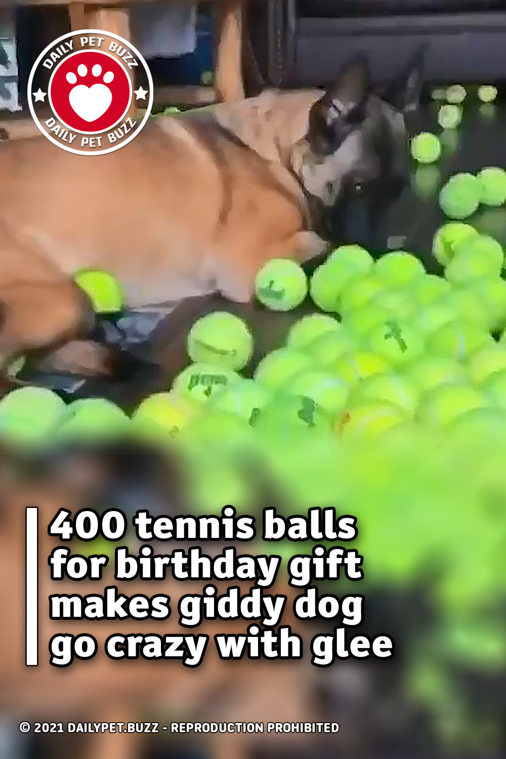 400 tennis balls for birthday gift makes giddy dog go crazy with glee