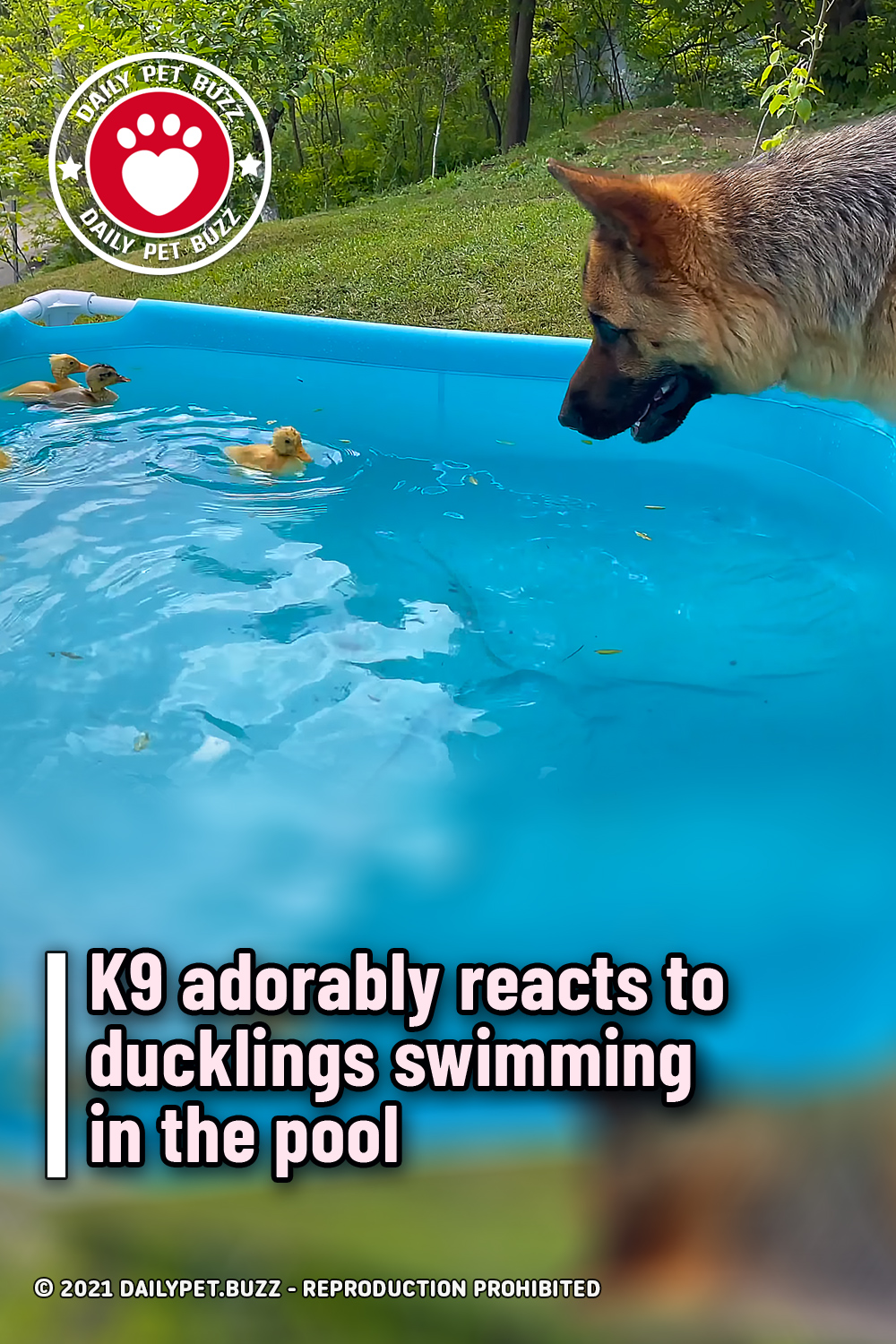 K9 adorably reacts to ducklings swimming in the pool