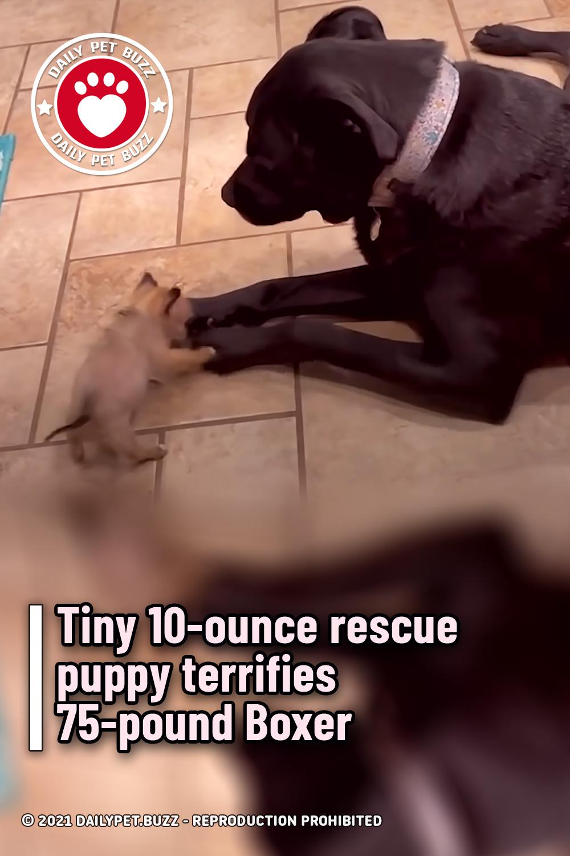 Tiny 10-ounce rescue puppy terrifies 75-pound Boxer