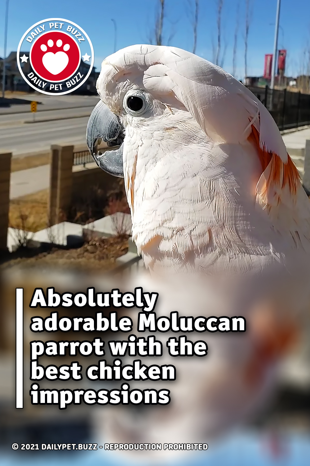 Absolutely adorable Moluccan parrot with the best chicken impressions