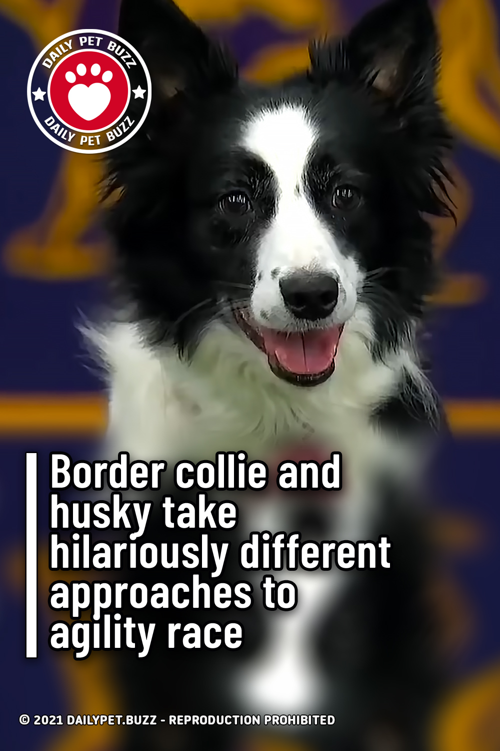 Border collie and husky take hilariously different approaches to agility race
