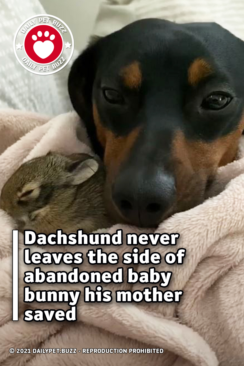 Dachshund never leaves the side of abandoned baby bunny his mother saved