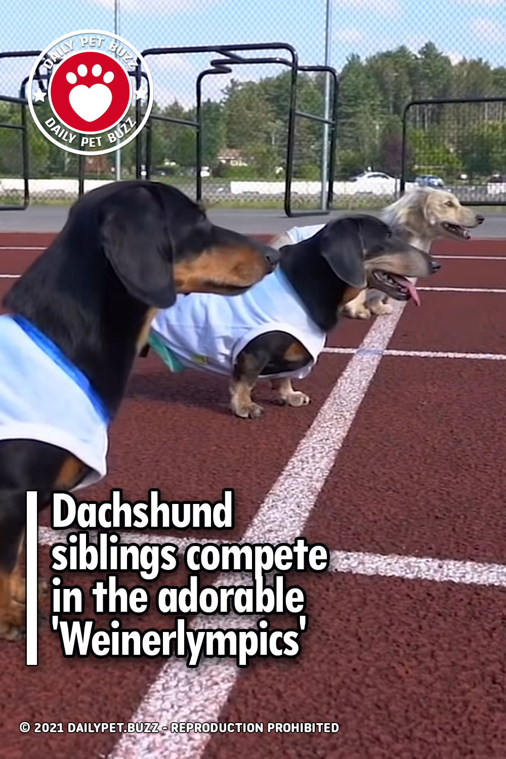 Dachshund siblings compete in the adorable \'Weinerlympics\'