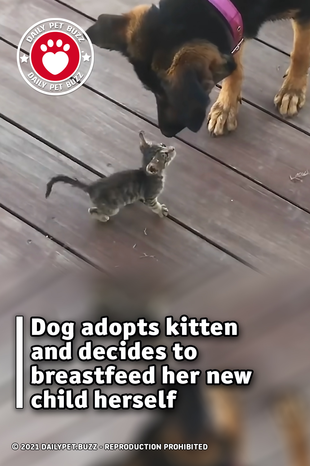 Dog adopts kitten and decides to breastfeed her new child herself