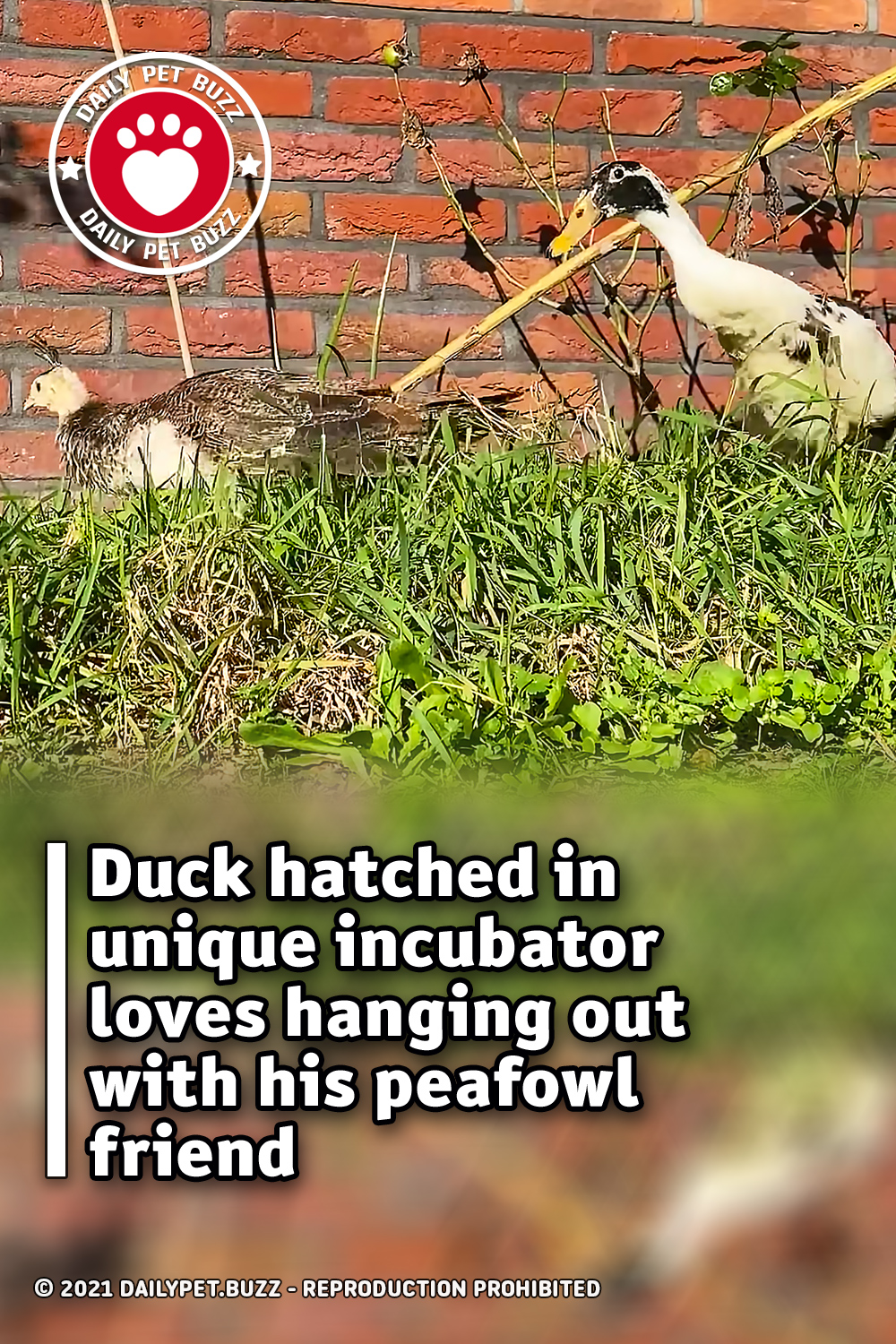Duck hatched in unique incubator loves hanging out with his peafowl friend