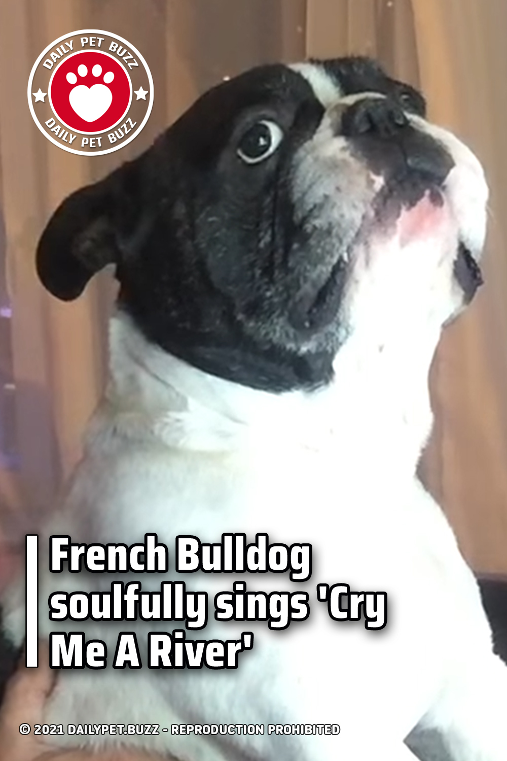 French Bulldog soulfully sings \'Cry Me A River\'