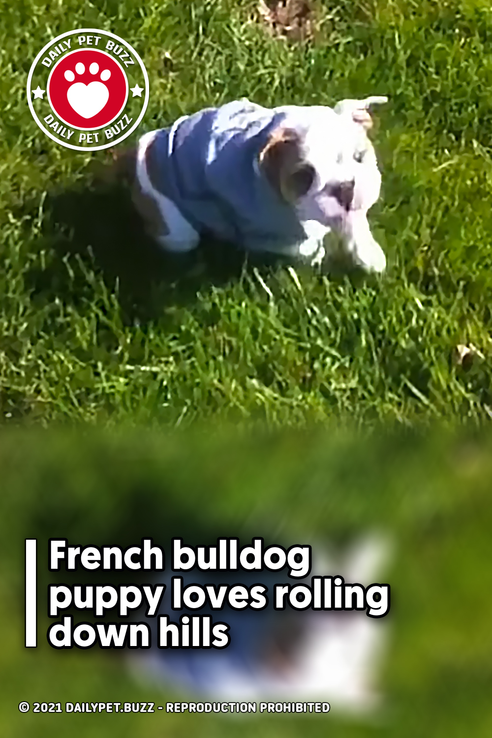 French bulldog puppy loves rolling down hills