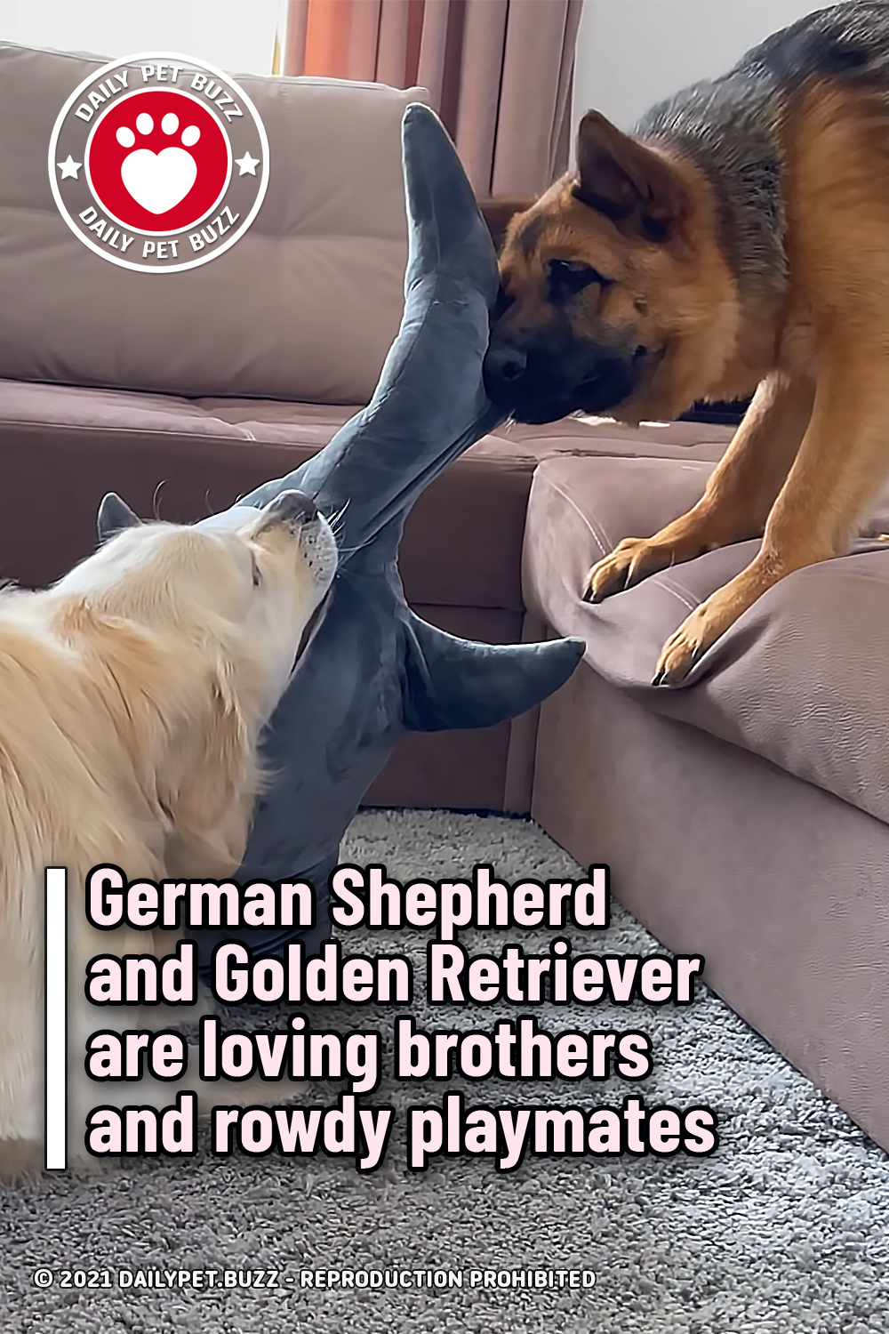 German Shepherd and Golden Retriever are loving brothers and rowdy playmates