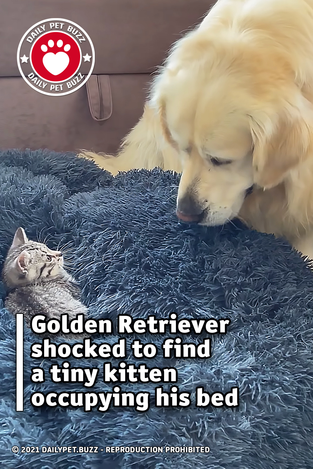 Golden Retriever shocked to find a tiny kitten occupying his bed