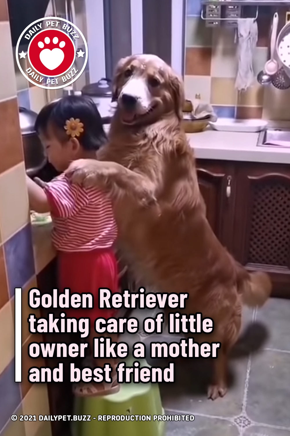 Golden Retriever taking care of little owner like a mother and best friend