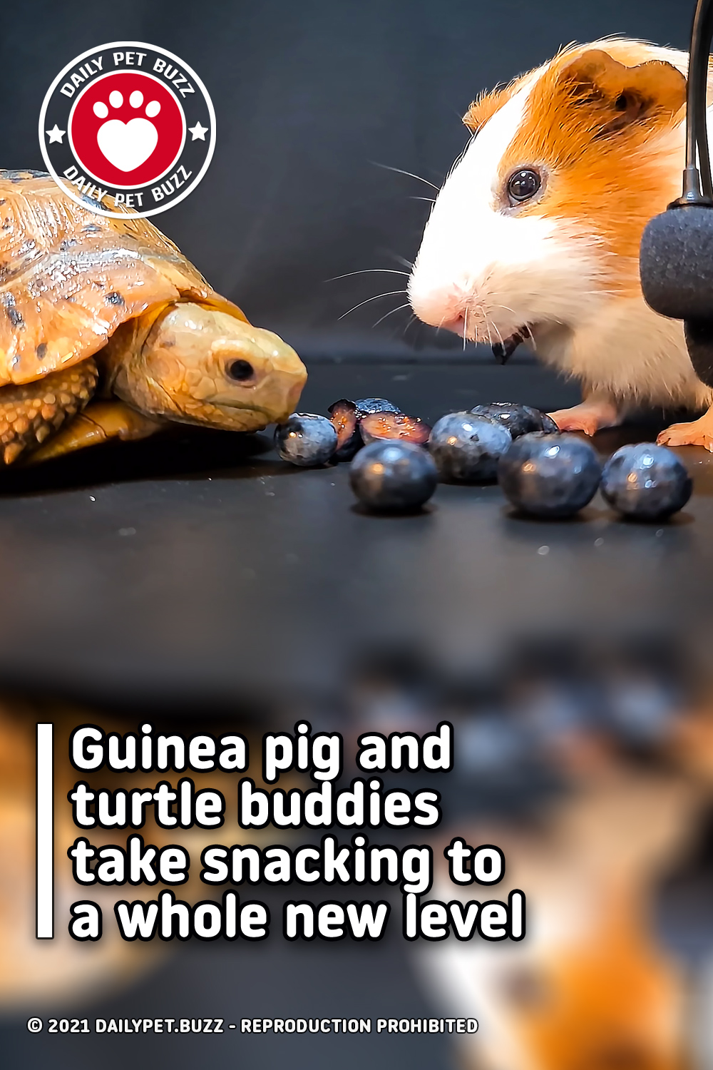 Guinea pig and turtle buddies take snacking to a whole new level