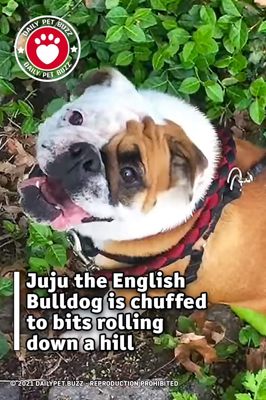 Juju the English Bulldog is chuffed to bits rolling down a hill