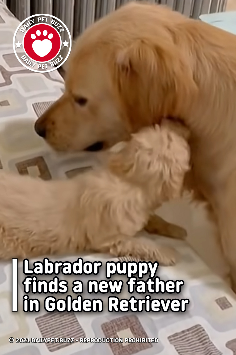 Labrador puppy finds a new father in Golden Retriever
