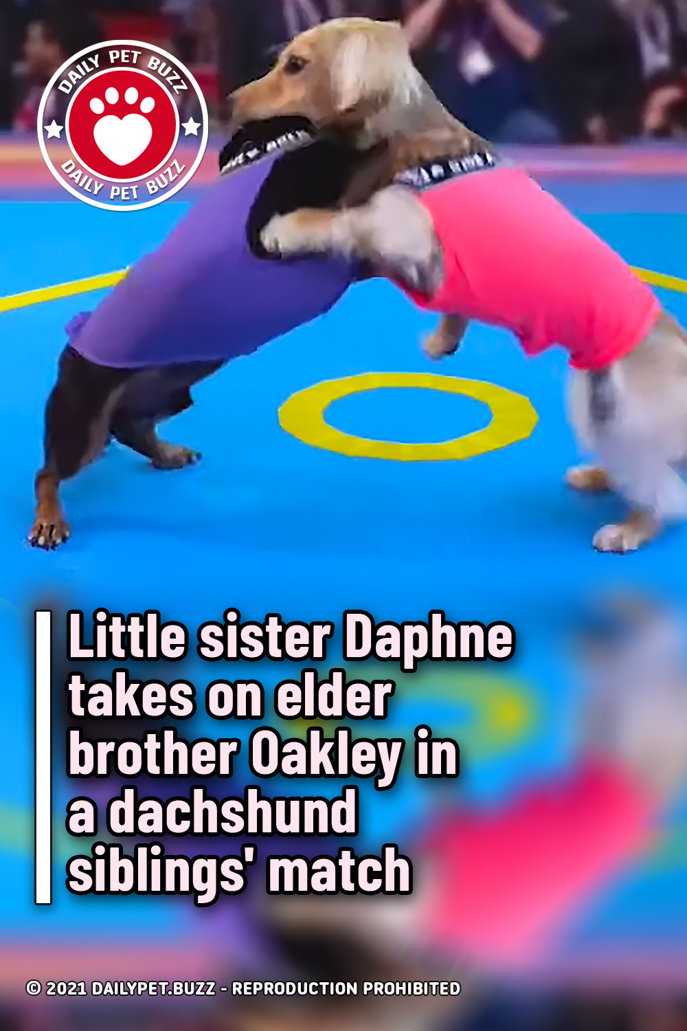 Little sister Daphne takes on elder brother Oakley in a dachshund siblings\' match