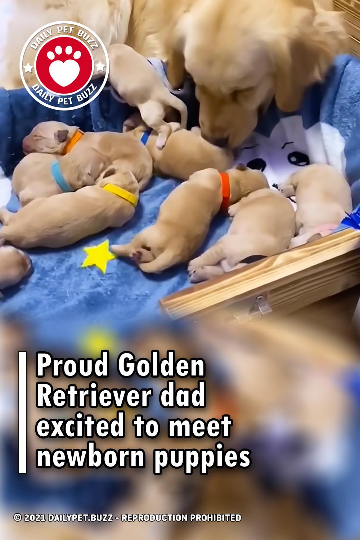 Proud Golden Retriever dad excited to meet newborn puppies