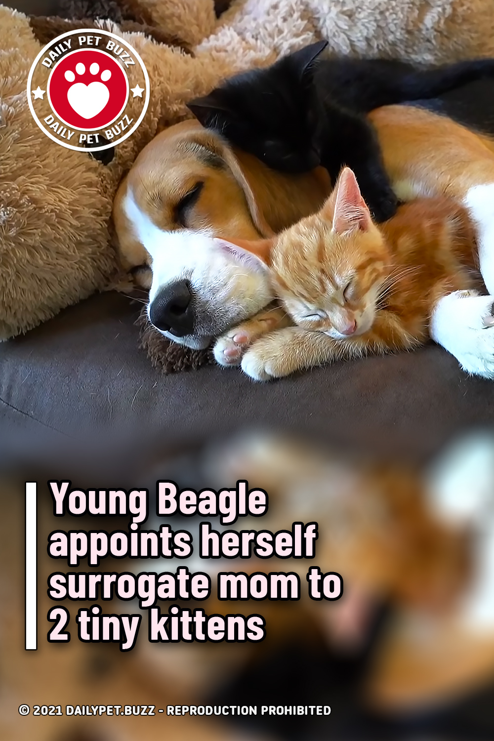 Young Beagle appoints herself surrogate mom to 2 tiny kittens