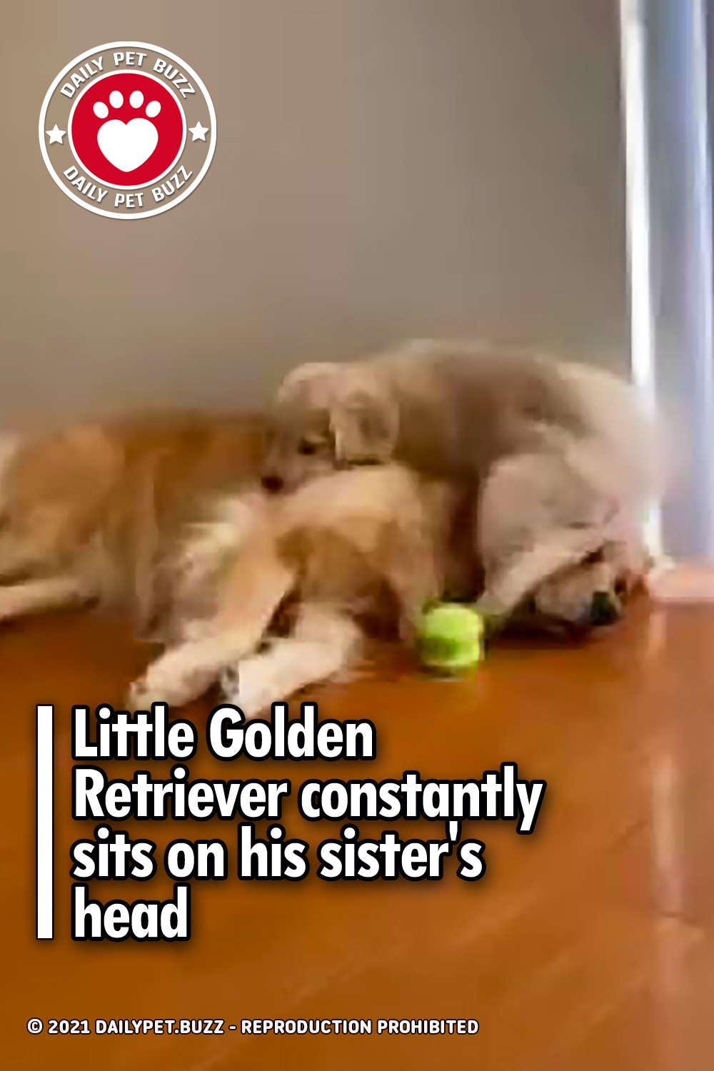 Little Golden Retriever constantly sits on his sister\'s head