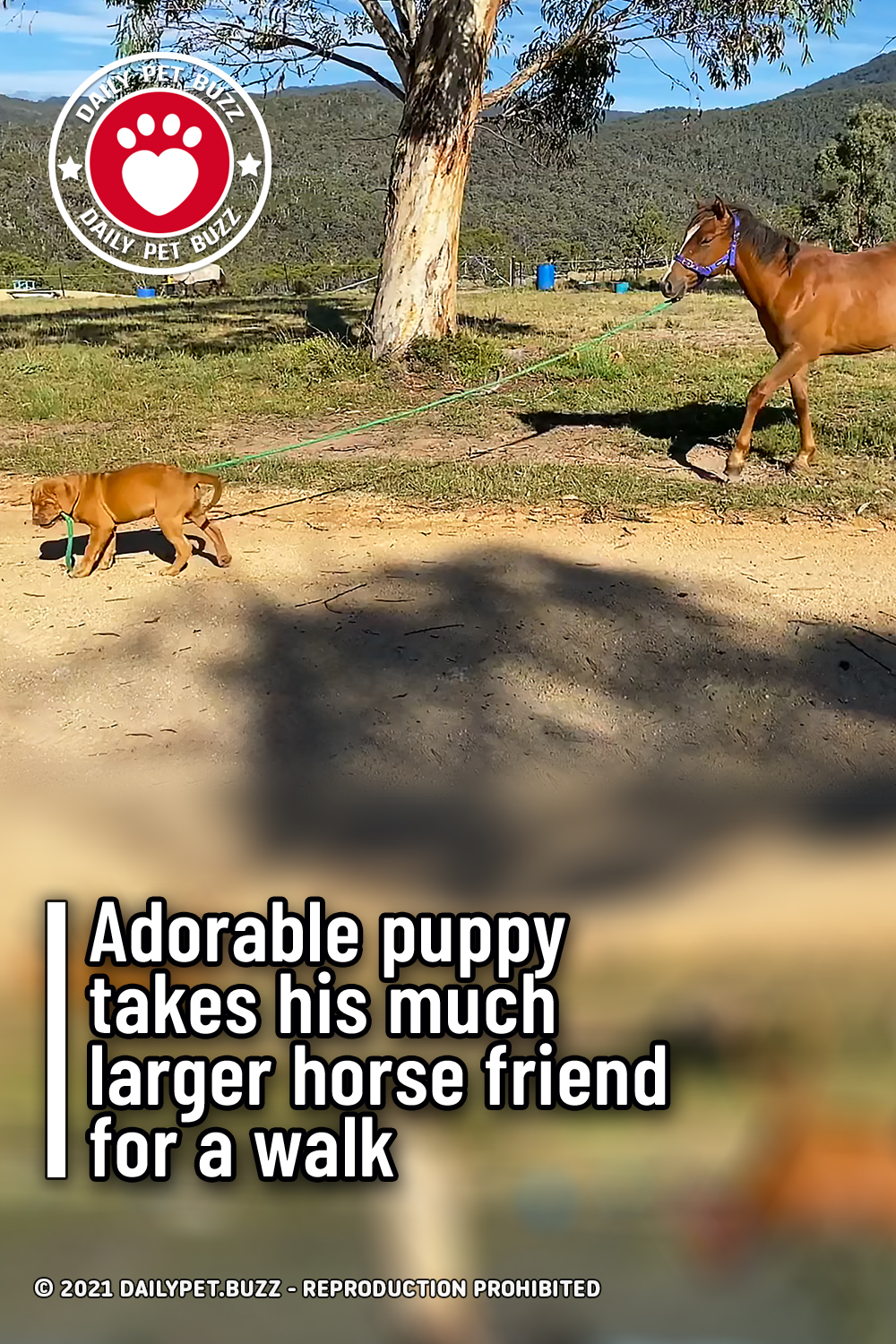 Adorable puppy takes his much larger horse friend for a walk