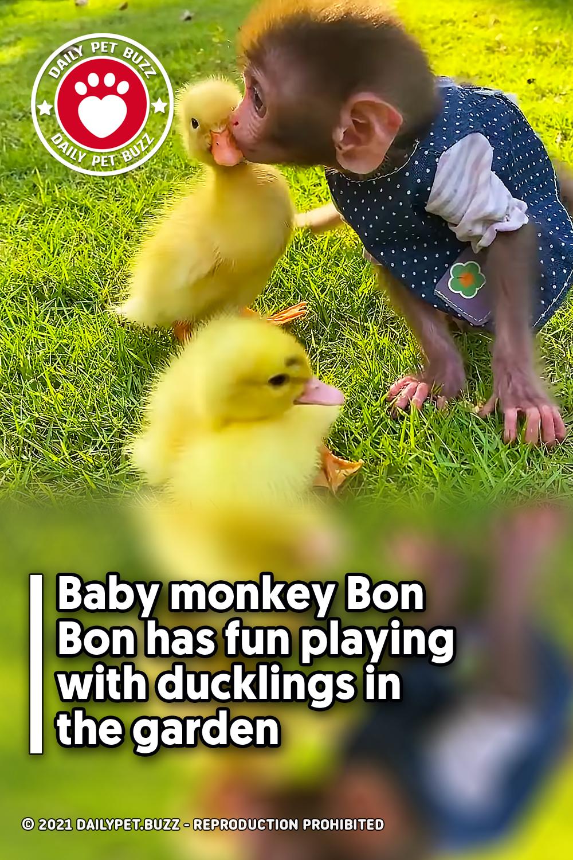 Baby monkey Bon Bon has fun playing with ducklings in the garden