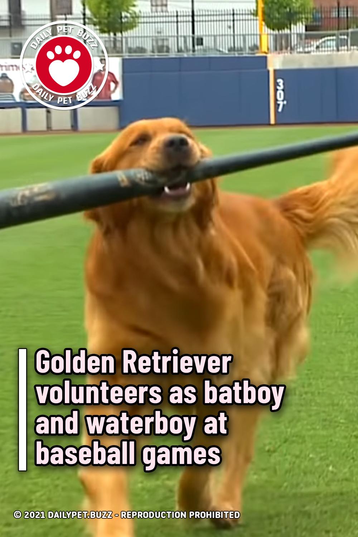 Golden Retriever volunteers as batboy and waterboy at baseball games