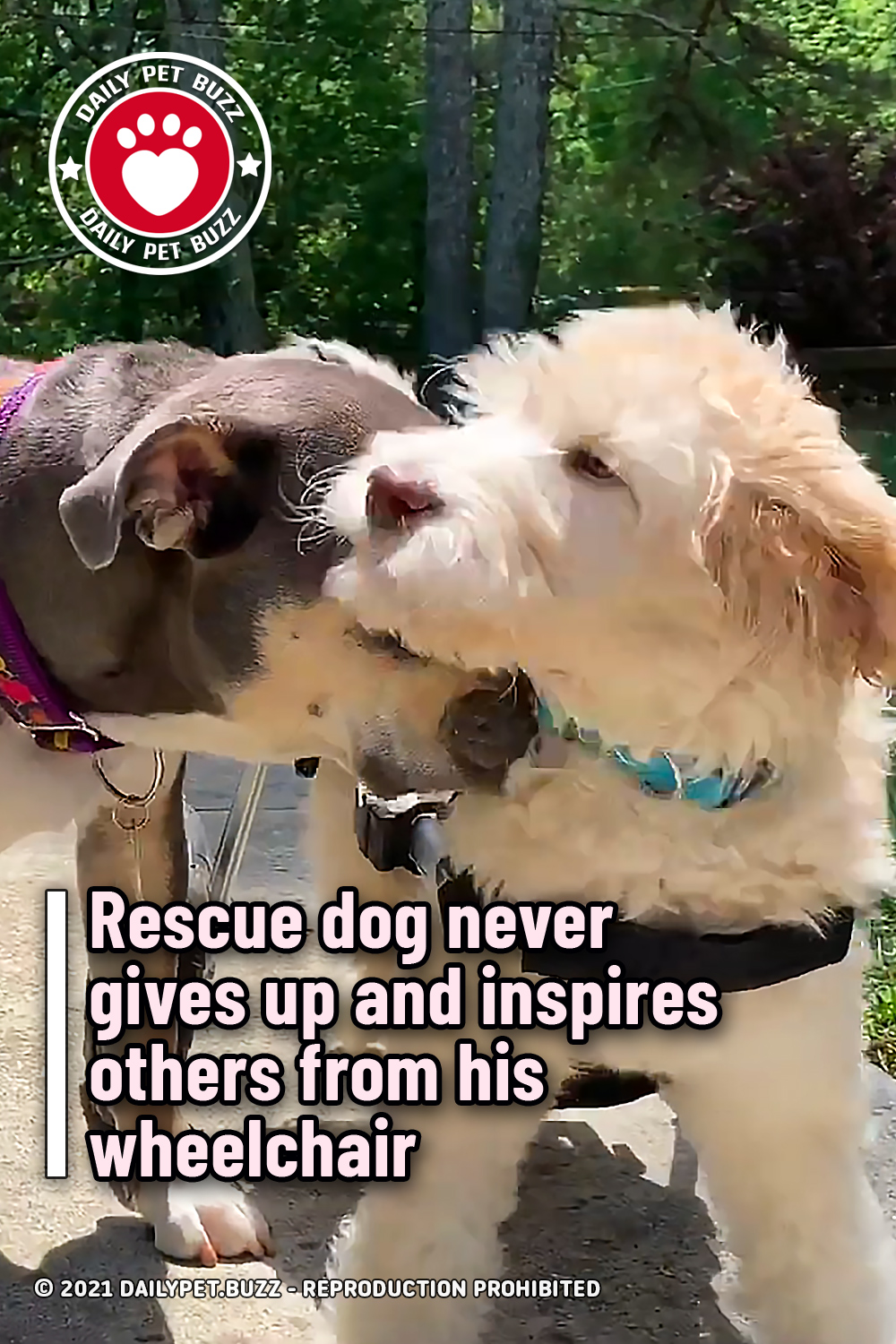 Rescue dog never gives up and inspires others from his wheelchair
