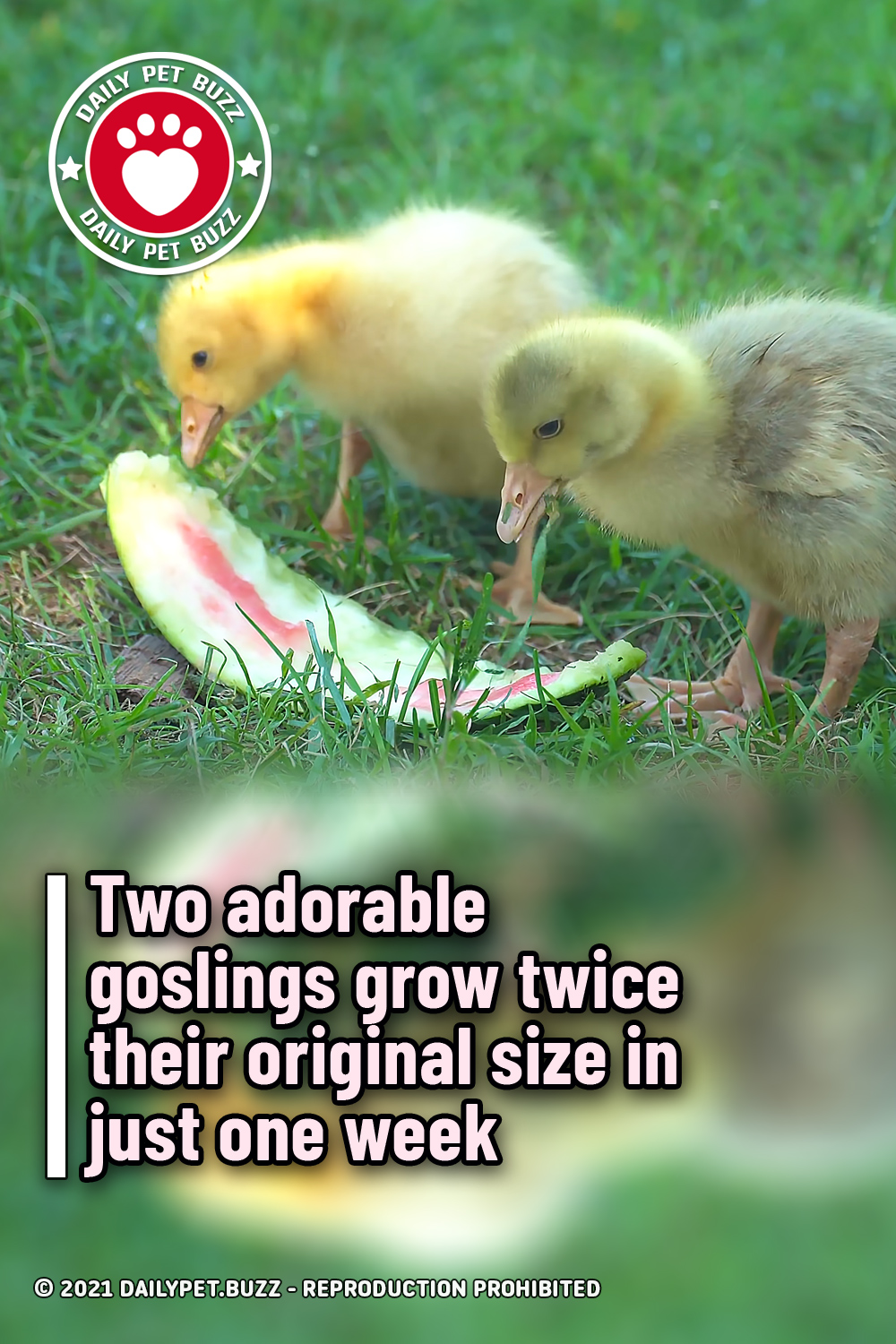 Two adorable goslings grow twice their original size in just one week