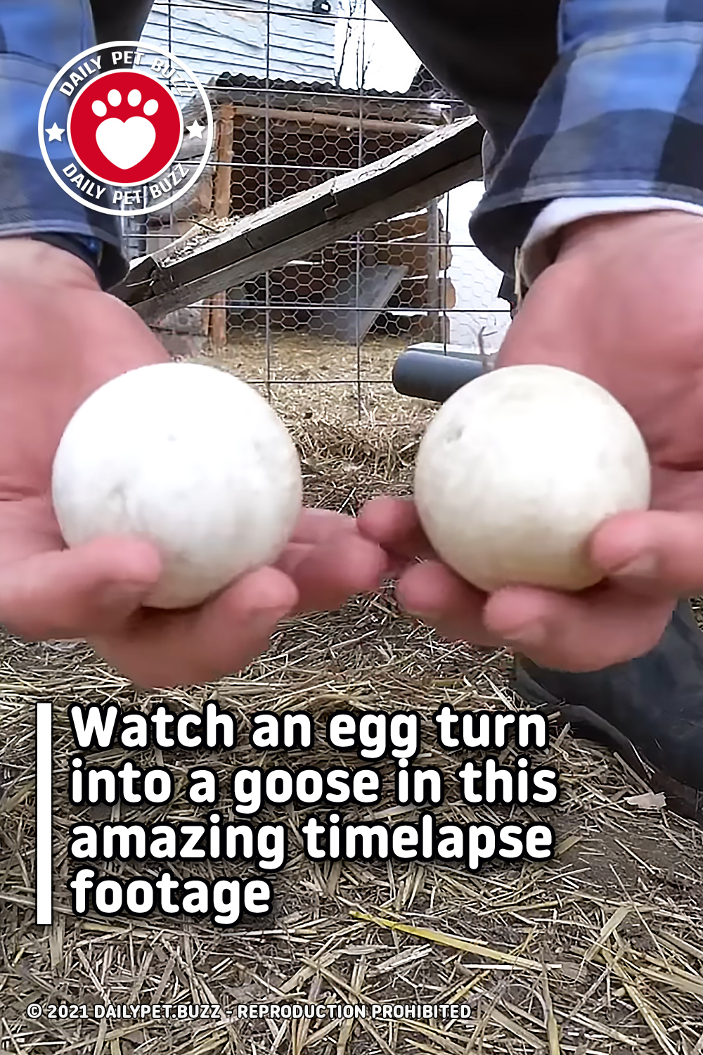 Watch an egg turn into a goose in this amazing timelapse footage
