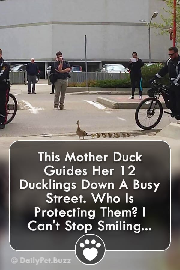 This Mother Duck Guides Her 12 Ducklings Down A Busy Street. Who Is Protecting Them? I Can\'t Stop Smiling...